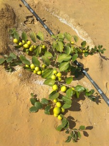 Thi Apple Ber in Desert Area of Rajasthan. saline water and soil