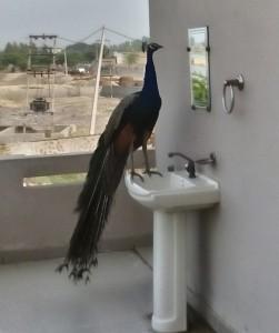पक्षी भी वाही रहना पसंद करते है,जहा वो खुद को सुरक्षित महसूस करे. कृषिको के कार्यालय में.मोर.