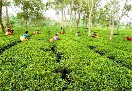 We have safe,organic solution for tea gardens