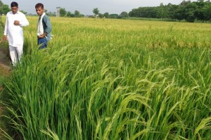 Healthy Rice Crop Without Poisonous Products