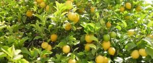lemon-tree-225907_1280-900x375